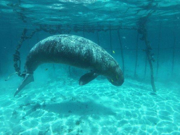 dugongos prisioneiros 2