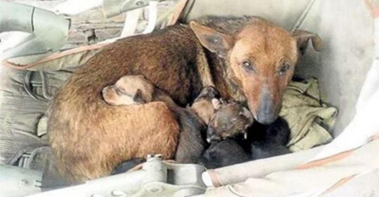 Cachorra salva bebê humano, acolhendo-o em sua ninhada: 'Ele teria morrido senão fosse por ela'